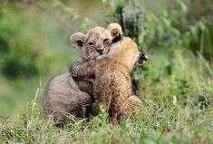 Kissaeläimet Felidae