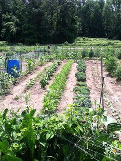 My garden at the Whitinsville Community Garden