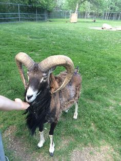 This is a Mouflon sheep that lives at the Saskatoon Forestry Farm. These animals are often imported to North America to be used on game ranches, but purebred Mouflon are rarely hunted