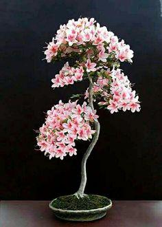 Beautiful flowering Bonsai.
