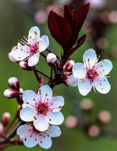 Plum Tree - Birds and Blooms - Flores Plum Flowers, Exotic Flowers, Pretty Flowers, Spring Flowers, Flowers In Bloom, Bouquet Flowers, Flowers Garden, Blossom Trees, Blossom Flower