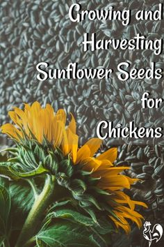Need an inexpensive treat for your chickens that provides the high protein boost they need at different times of year? Here's how to grow sunflowers! Plants For Chickens, Raising Backyard Chickens, Urban Chickens, Backyard Poultry, Backyard Chicken Coops, Keeping Chickens, Backyard Farming, Pet Chickens, Greenhouse Gardening