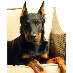 Equal parts strength and grace. #Beauceron