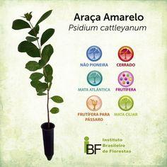 Araçá Amarelo - Psidium cattleyanum - Muda de 30 a 60 centímetros