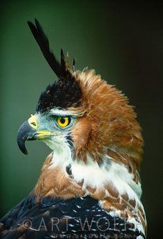 Ornate hawk-eagle // Aigle orné (photo by art wolff) Kinds Of Birds, All Birds, Birds Of Prey, Pretty Birds, Beautiful Birds, Animals Beautiful, Exotic Birds, Colorful Birds, Carnivore