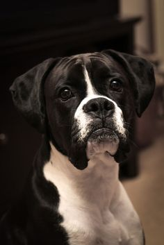 Things we all respect about the Protective Boxer Pup