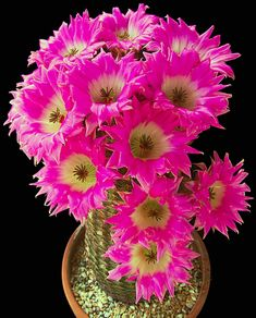 cactus flower and tibetan ginseng hydrating mist Rare Flowers, Exotic Flowers, Amazing Flowers, Pink Flowers, Beautiful Flowers, Cacti And Succulents, Planting Succulents, Planting Flowers, Cactus House Plants