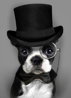 Bulldog francese. Stile inglese.