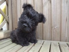 Black Brindle Scottish Terrier Bitch | Sheffield, South Yorkshire | Pets4Homes