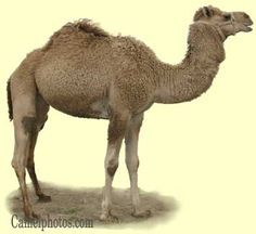 Dromedary camel Head and body length: 9.6-11 feet. Shoulder height: 5.8-7.5 feet. Weight: 700-1500 pounds. Their color ranges from white, brown, tan, red, black and spotted. With their longer legs they can easly out run the Bactrian camel.