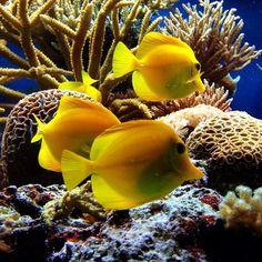 Yellow Salt Water Fish