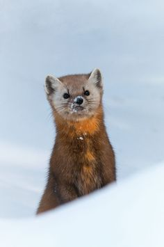 Inquisitive little Marten