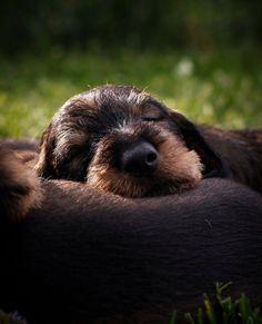 Dachshund Art, Wire Haired Dachshund, Daschund, Happy Animals, Animals And Pets, Cute Animals, I Love Dogs, Cute Dogs, Weenie Dogs