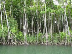 mangrove trees | Mangrove trees on the Daintree River...