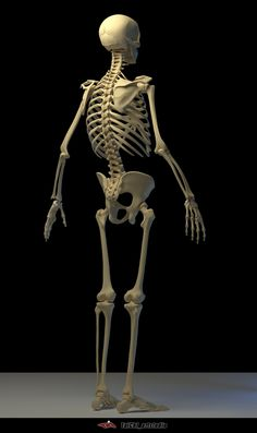 It is used in the teaching of a human body skeleton model, have some difference with real bone, it more summary, and keep the main shape characteristics, hope to help you. Anatomy Models, Anatomy For Artists, Anatomy Art, Anatomy Drawing, Anatomy Study, Skeleton Muscles, Human Skeleton Anatomy, Human Anatomy, Skeleton Drawings