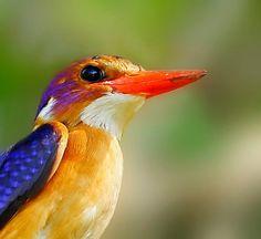 African Pygmy Kingfisher Ispidina picta Dwergvisvanger - via Chris Krog