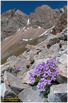 Thlaspi rotundifolium glareofita frequente sui ghiaioni calcarei, Alpi Liguri