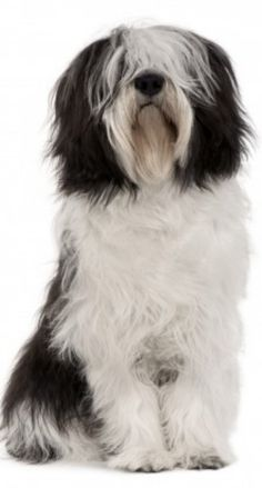 Polski Owczarek Nizinny :) The Polish Lowland Sheepdog, also called PON. I Love Dogs, Cute Dogs, Guard Dog Training, Training Tips, Polish Lowland Sheepdog, Bearded Collie, Herding Dogs, Dog Lady, Pets