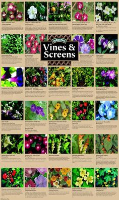 Climbing plants and vines for growing on screens and trellis- living fence Kletterpflanzen und Weinr Garden Vines, Outdoor Gardens, Climbing Plants, Shrubs, Lawn And Garden, Nasturtium, Plants, Planting Flowers, Living Fence