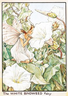 flower fairy - white bindweed
