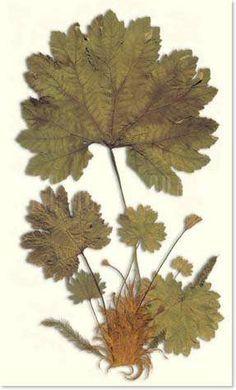 Little Green Notebook: Leaf Prints Leaf Prints, Framed Art Prints, Framed Artwork, Fine Art Prints, Poster Prints, Wall Art, Hanging Artwork, Little Green Notebook, Vintage Botanical Prints