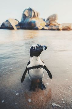 """ikwt: """" Penguin in Cape Town, South Africa! [photo by emmett_sparling] Nature Animals, Baby Animals, Funny Animals, Cute Animals, Wild Animals, Visit South Africa, Cape Town South Africa, Persona, Animal Society"""