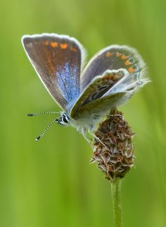 Common Blue (polyommatus icarus) | Flickr - Photo Sharing!