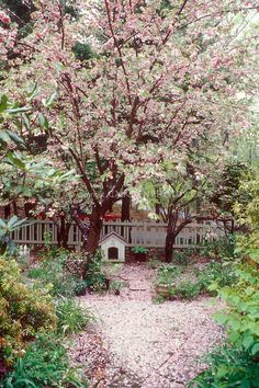 Prunus cherry trees in the spring garden | Judy White, GardenPhotos