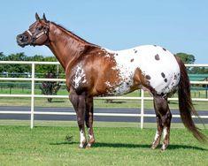 Bar Fancy, Most Beautiful Horses, Western Pleasure, Appaloosa Horses, My Horse, Palomino, Horse Photography, Animals And Pets, Equestrian