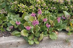 "Bergenia cordifolia ""Redstart"" - Elephant-eared saxifrage, Elephant's ears, Heartleaf saxifrage. Flowers late winter, early spring"