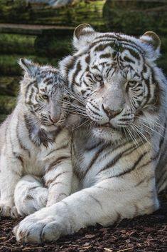 we love cats. Big Cats, Cats And Kittens, Cute Cats, Bengalischer Tiger, Bengal Tiger, Tiger Cubs, Siberian Tiger, Bear Cubs, Nature Animals