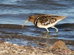 South American Painted-snipe(Nycticryphes semicollaris)