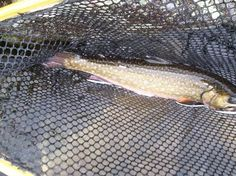 On the first day of Christmas my true love gave to me.....  A brook trout in a new net.