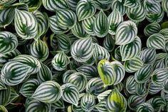 Peperomia planta