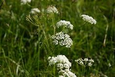 Conopodium majus (Franse Aardkastanje or Pignut) 30cm tall and grows well in dappled shade, dislikes alkaline soils. Nuts are small and rather fiddly to harvest, but make very pleasant eating raw or cooked.