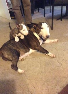 Uplifting So You Want A American Pit Bull Terrier Ideas. Fabulous So You Want A American Pit Bull Terrier Ideas. Chien Bull Terrier, Mini Bull Terriers, Miniature Bull Terrier, Pitbull Terrier, Staffordshire Bull Terriers, English Bull Terriers, Pitt Bulls, Best Dog Breeds, Best Dogs
