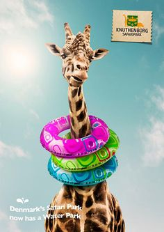 Giraffe - ready for a swim! It's so hot today...!