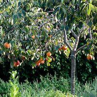 Persimmon Tree's Overwatering & loss of fruit/flower
