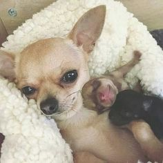 Sweet Chihuahua mama and babies. Sweet Chihuahua mama and babies. Cute Little Animals, Cute Funny Animals, Cute Dogs And Puppies, I Love Dogs, Doggies, Chihuahua Dogs, Chihuahua Facts, Cute Animal Pictures, Animals Beautiful