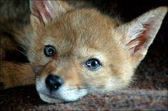 coyote pup photo