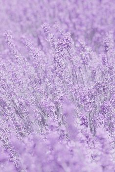 Whisper In Purple Flowers by Poppy Thomas-hill - Purple aesthetic - Colorfull Wallpaper, Purple Flowers Wallpaper, Light Purple Flowers, Aesthetic Pastel Wallpaper, Aesthetic Backgrounds, Purple Lilac, Lavender Color, Shades Of Purple, Aesthetic Wallpapers