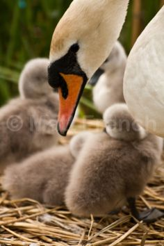 Vigilance - Fine Art Photographic Print, Irish Nature photography, Mother Swan and baby Cygnets, Photo Print on Glossy Paper Giving Up On Life, Beautiful Swan, Swans, Photographic Prints, Irish, Nature Photography, Fine Art, Paper, Baby