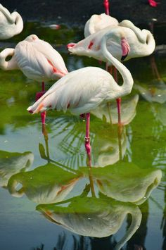 Sub-adult flamingos are whitish-grey and only attain the pink coloration several years into their adult life. The coloration comes from the carotenoid pigments in the organisms that live in their feeding grounds..