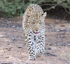 Leopard kgalagadi Spotted Cat, South Africa, Wildlife, Cats, Animals, Gatos, Animales, Kitty Cats, Animaux