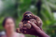 Pygmy Three-toed Sloth. This sloth is found only on a small island off of Panama.