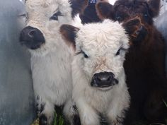 23 Mini Cow Pictures you've never seen before - meowlogy Cute Baby Cow, Baby Cows, Cute Cows, Cute Little Animals, Large Animals, Animals And Pets, Fluffy Cows, Fluffy Animals, Galloway Cattle