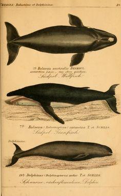 Bd. 1 - Die vollständigste Naturgeschichte des In- und Auslandes / - Biodiversity Heritage Library