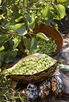 Kakadu plum (Terminalia ferdinandiana)   The world's richest source of Vitamin C is found in this Northern Territory native fruit. The plum has 50 times the Vitamin C of oranges, and was a major source of food for tribes in the area