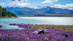 The mystery of Tekapo's disappearing lupins: Who killed the social media star? | Stuff.co.nz