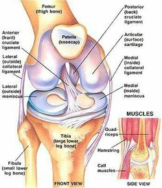 Preventing ACL Injury through Strengthening Exercises - Women Fitness The Anterior Cruciate Ligament is extremely important to all, as this ligament controls rotational forces in the knee. If this ligament Preventing ACL Muscle Anatomy, Body Anatomy, Knee Muscles Anatomy, Knee Joint Anatomy, Anatomy Of The Knee, Anatomy Bones, Anatomy Study, Anterior Cruciate Ligament, Ligaments Of The Knee